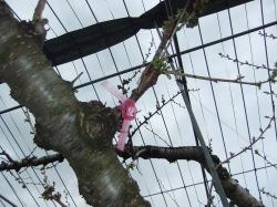 さくらんぼ(佐藤錦)の交配木の植樹