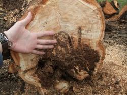 樹齢55年のさくらんぼの木