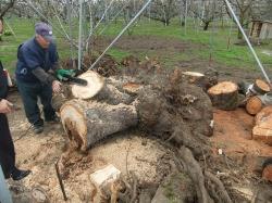 さくらんぼ(佐藤錦)の古い木の伐採